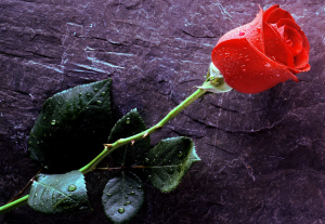 bunga berembun